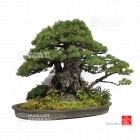 Portes ouvertes MAILLOT BONSAI (01) du 7 au 15 avril 2018