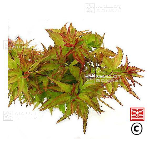 Acer Palmatum Taro Yama From Maillot Erable The Store Maillot Erable
