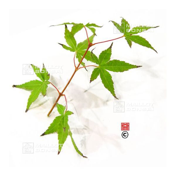 Acer Palmatum Katsura Hime From Maillot Erable The Store Maillot