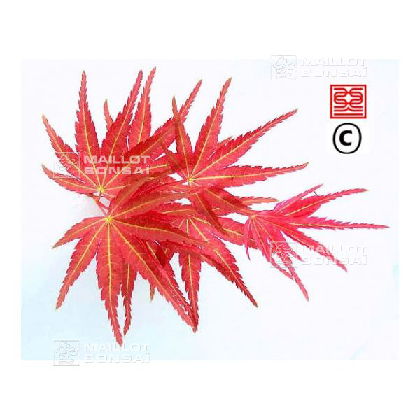 Acer Palmatum Seigen From Maillot Erable The Store Maillot Erable