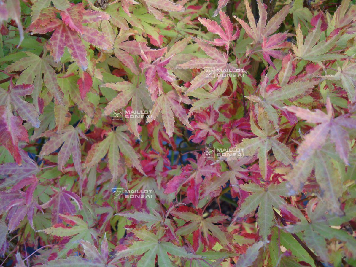 Japanese Maples Acer Palmatum Anne Irene From Maillot Erable The