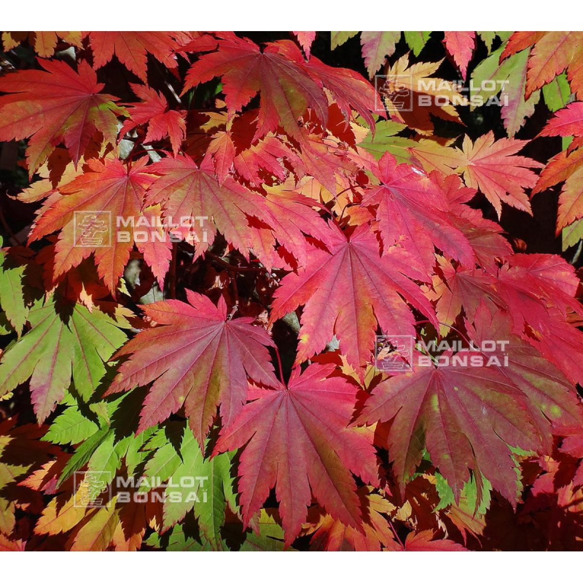 Acer Seeds And More Acer Shirasawanum Seeds Kinkakure From Maillot