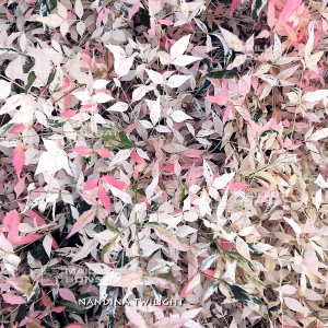 nandina-domestica-twilight