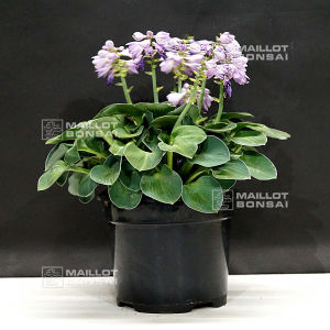 hosta blue mouse ears pot 3 litres