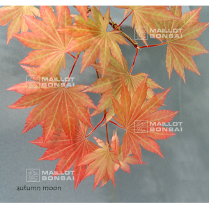 autumn-moon