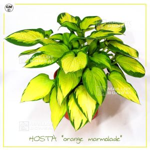 hosta-orange-marmalade