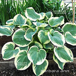 Hosta 'barbara ann'