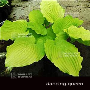 hosta-dancing-queen