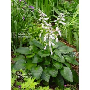 Hosta devon green