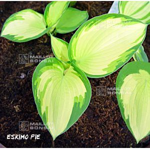 hosta-eskimo-pie