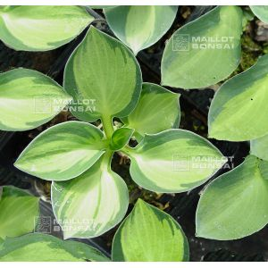hosta-holy-mouse-ears
