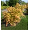 acer shirasawanum moonrise ® PBR