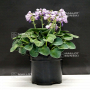 hosta-blue-mouse-ears-pot-3-litres