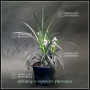 ophiopogon-planiscapus-nigrescens-1-4-litre-pot