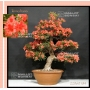 rhododendron-kin-no-hana-22060184-promotion